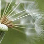 تولید لاستیک از گل قاصدک